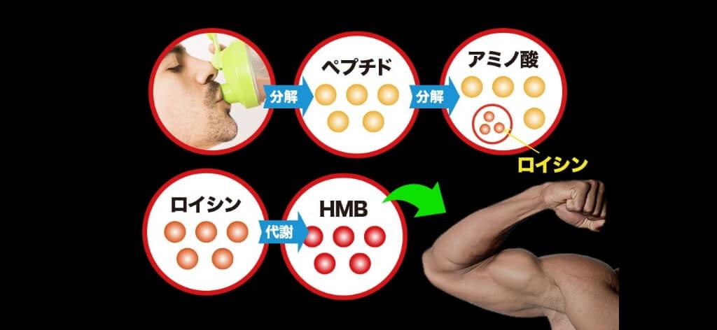 マッスルエレメンツHMBのHMBプロテインより吸収に優れる